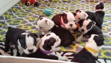 Boston terrier Puppies Available
