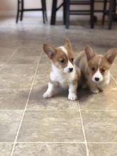 Pembroke Welsh Corgi Puppies For Adoption