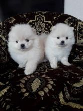 Pomeranian Puppies For Adoption Image eClassifieds4U