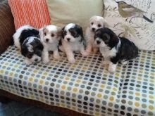 Beautiful Cavachon Puppies Available