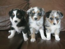 Charming Australian Shepherd puppies available