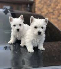 Registered West Highland Terrier Puppies Ready Now