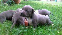 Magnificent American Staffordshire terrier Puppies available Image eClassifieds4U