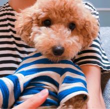 Astounding Ckc Toy Poodle Puppies Available [ justinmill902@gmail.com]