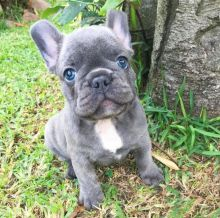 Smart Ckc French Bulldog Puppies Available