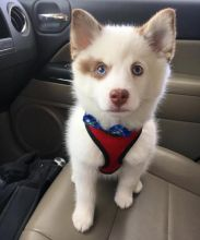 Energetic Ckc pomsky Puppies Available [ justinmill902@gmail.com]