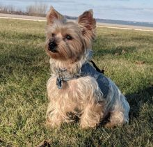 Prodigious Ckc Yorkie Puppies Available [ justinmill902@gmail.com]