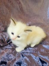 Active Female Pure Ragdoll Text us at (346) 360-2211 or email us at yoladjinne@gmail.com