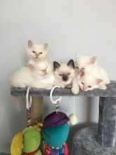 Beautiful Birman Boys and Girls For Sale Text us at (346) 360-2211 or email us at yoladjinne@gmail.c