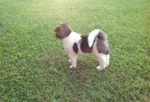 Cute Akita Puppies Available Now For free Adoption