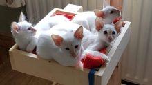 Friendly Balinese Kitten Text us at (346) 360-2211 or email us at yoladjinne@gmail.com
