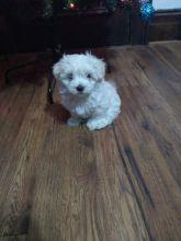 Maltese Puppies For Adoption