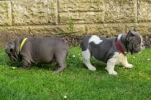 Blue pied French Bulldog Puppies Available
