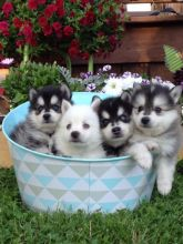 Classic markings Pomsky Puppies Available