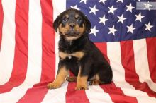 Potty Trained Rottweiler Puppies Available