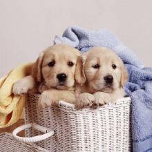 Perfect Golden Retriever For Puppies Adoption