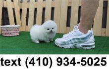 Cute smallest t-cup pomeranian puppies for sale. Image eClassifieds4U