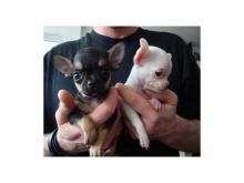 Cute Apple head Teacup chihuahua puppies Available Now