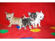 Sudbury Chihuahua : Dogs, Puppies for Sale Classifieds at