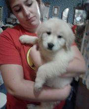 Beautiful Golden retriever Puppies available.