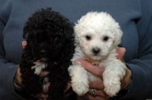 Beautiful Maltipoo puppies Available,