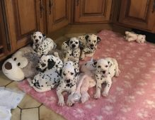 Black and Liver spotted Dalmatian Puppies available