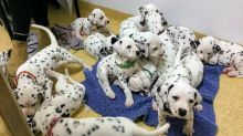 Dotted Black And White Dalmatian Puppies available