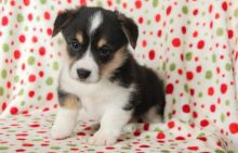 Male and female Pembroke welsh corgi puppies