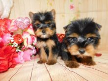 Quality Yorkshire Terrier puppies available