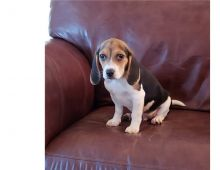 Sweet Beagle Puppies,