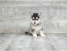 Two adorable Pomsky puppies