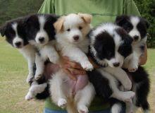 Cute Border Collie pups.