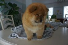 Male and Female Chow Chow Puppies For Adoption