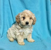 Male and Female Maltipoo Puppies For Adoption