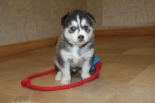 Male and Female Pomsky Puppies For Adoption
