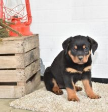 Male and Female Rottweiler Puppies For Adoption