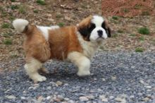 Male and Female Saint Bernard Puppies For Adoption