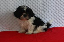 Male and Female Shih Tzu Puppies For Adoption