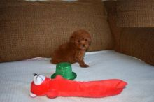 Male and Female Toy Poodle Puppies For Adoption