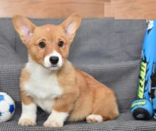 Male and Female Welsh Corgi Puppies For Adoption