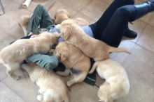 Registered Golden Retriever Puppies Available