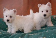 West highland terrier puppies Ready Now