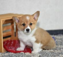 Male and Female Welsh Corgi Puppies For Adoption Image eClassifieds4U