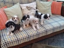 Cavachon Puppies Available.