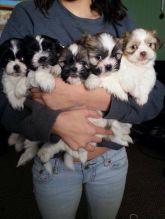 Adorable Shih Tzu puppies ready