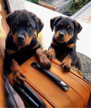 Friendly Rottweiler Puppies [ justinmill902@gmail.com]
