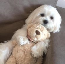 Intelligent and Affectionate Maltese Puppies [ justinmill902@gmail.com]