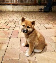 Magnificent shiba inu Puppies Available [ justinmill902@gmail.com]