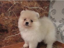 Sweet Male And Female Pomeranian puppies For Free Adoption. Text us via 902 967 4732