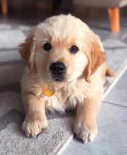 Two Top Class golden retriever Puppies Available [ justinmill902@gmail.com]